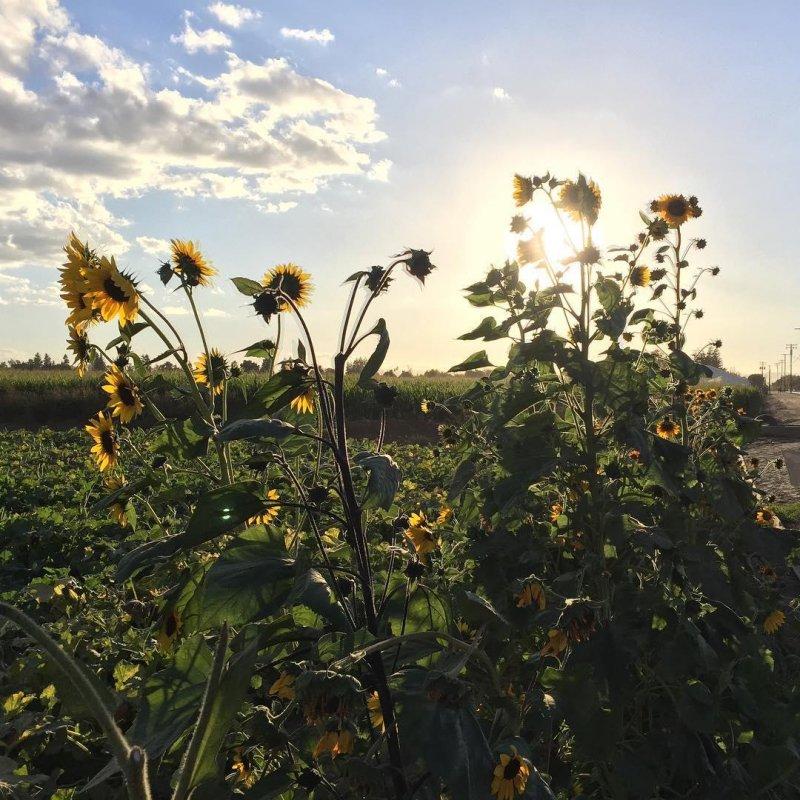 #sunflowers #sunflower #flowers #flower #sunset #nofilter #farmland #autumn #turlock #centralvalley #dustbowl #cowtown #hashtagsoup #howareyou #happymonday #latergram #oldhaunts