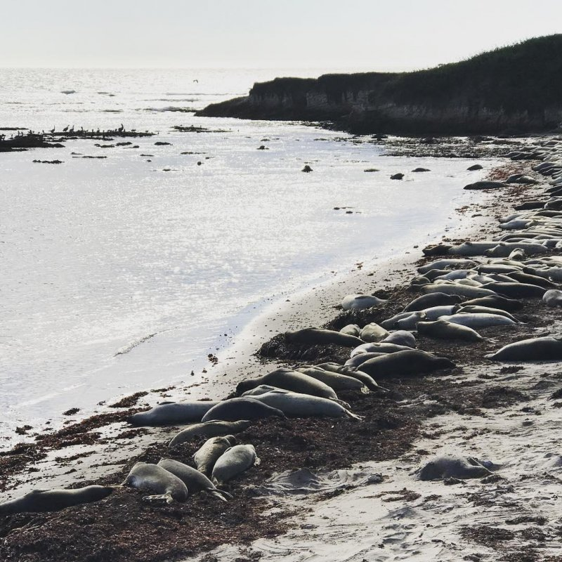 Elephant seals, snoozin'